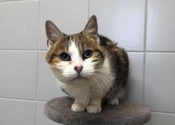 Luciole, Chat européen à adopter