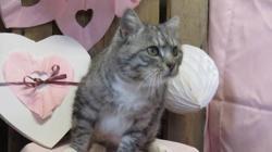 Myrtille, Chat europeen à adopter