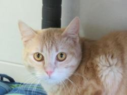 Starsky, Chat europeen à adopter