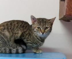 Parana, Chat europeen à adopter