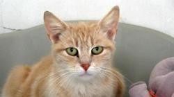 Lamia, Chat europeen à adopter