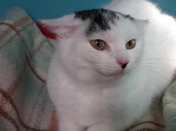 Jasmine, Chat europeen à adopter