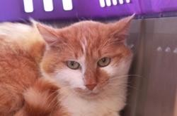 Elyon, Chat europeen à adopter