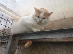 Moshi, Chat europeen à adopter