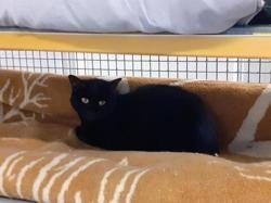 Velvet, Chat europeen à adopter