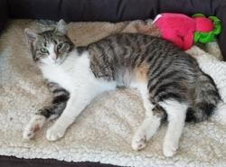 Olenna, Chat europeen à adopter