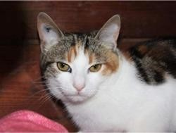 Gaby, Chat europeen à adopter