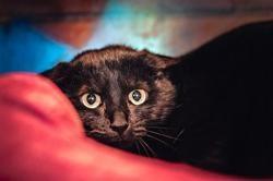 Prestone, Chat europeen à adopter