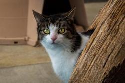 Zaza, Chat europeen à adopter