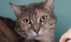 Calina, Chat europeen à adopter