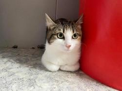 Tala, Chat européen à adopter