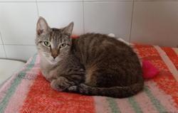 Gaufrette, Chat europeen à adopter