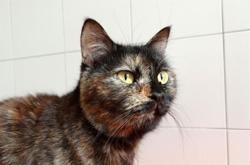 Mouna, Chat européen à adopter