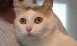 Lori, Chat européen à adopter