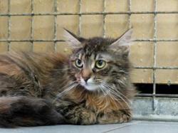 Meringue, Chat europeen à adopter