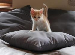 Scooter (reserve), Chaton europeen à adopter