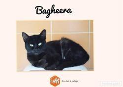 Bagheera, Chat européen à adopter