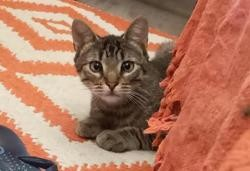 Sweeny, Chat européen à adopter