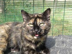 Harley, Chat européen à adopter