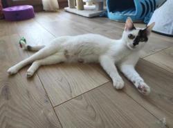 Miss kitty c17043, Chat européen à adopter