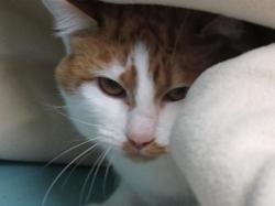 Gaston, Chat européen à adopter