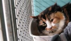 Gamine, Chat européen à adopter