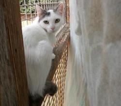 Jess, Chat européen à adopter