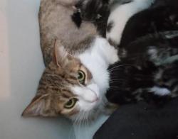 Jessie, Chat européen à adopter