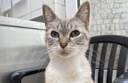 Cannelle (réservée), Chat siamois à adopter