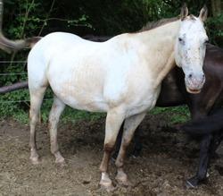 Gotcha, Animal cheval à adopter