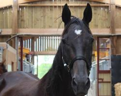 Cornouaille, Animal cheval à adopter