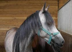 Illico, Animal cheval à adopter