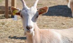 April, Animal chèvre à adopter