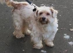 Marcus, Chien croisé / autre (bichon/ west highland white terrier) à adopter