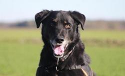 Hatchi, Chien croisé / autre (labrador (retriever)/ berger de beauce) à adopter