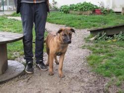 Solidaire narkos, Chiot croisé / autre (berger belge malinois/ dogue de bordeaux) à adopter