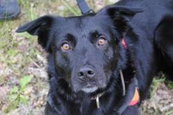 Turbo, Chien croisé / autre (labrador (retriever)/ border collie) à adopter