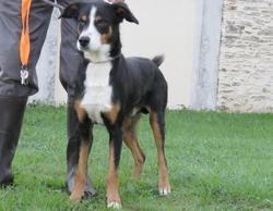 Django, Chien croisé / autre (berger australien d'amerique/ berger de beauce) à adopter