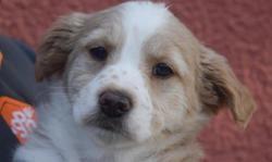 Thaïl, Chiot croisé / autre (berger australien d'amerique/ berger des pyrenees) à adopter