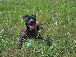 Maya, Chien croisé / autre (labrador (retriever)/ braque/ dogue) à adopter