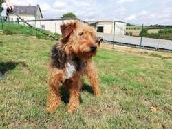 Caresse, Chien airedale à adopter