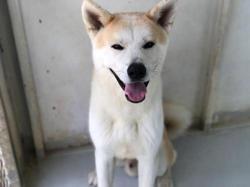 Natsu, Chien akita inu à adopter