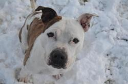 Imagine, Chien american staffordshire à adopter