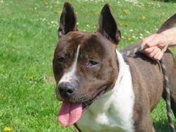 Nox, Chien american staffordshire à adopter
