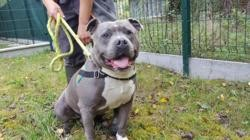 Tayson, Chien american staffordshire à adopter