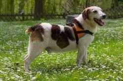 Tahio, Chien beagle à adopter