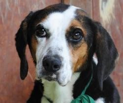 Kobu vaa21461, Chien beagle à adopter