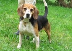 Derek, Chien beagle à adopter