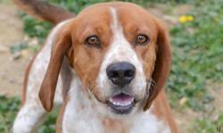 Tic tac, Chien beagle à adopter