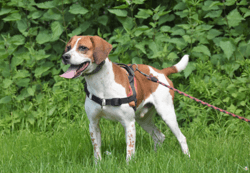 Droopy, Chien beagle à adopter